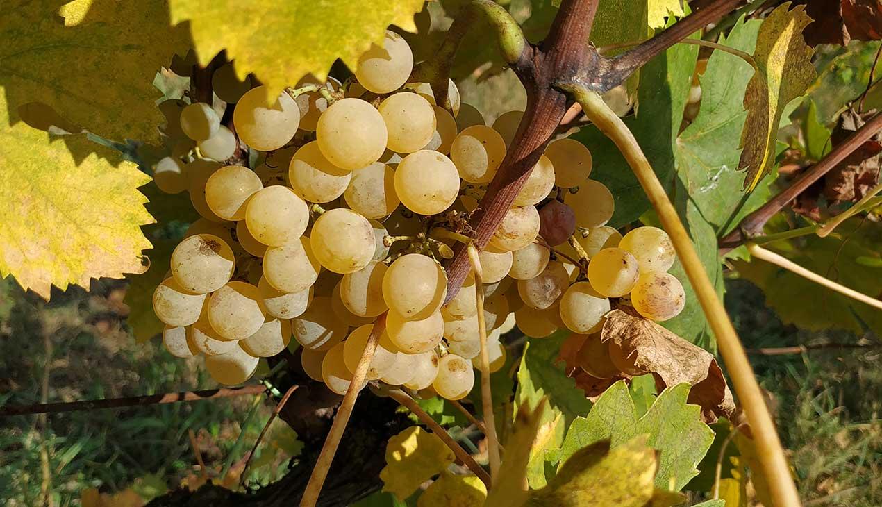 Agricola Lanciani | Gallery: le nostre uve